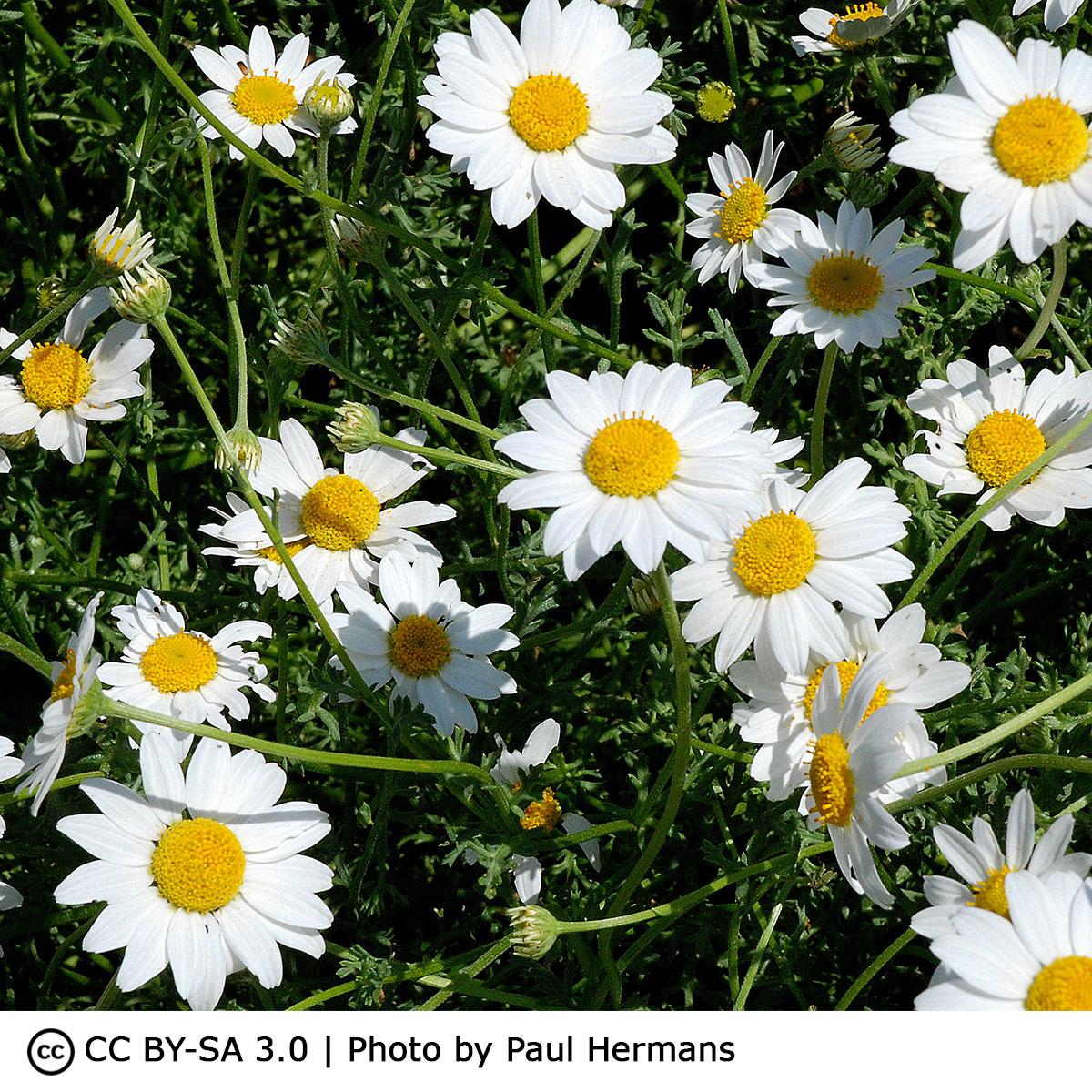 Semences plantes médicinales